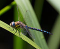 Common Hawker Dragonfly 9 (6083392044).jpg