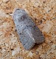 Common Quaker. Orthosia cerasi. Noctuidae. - Flickr - gailhampshire.jpg