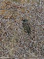 Common Starling (Sturnus vulgaris) (25029033376).jpg