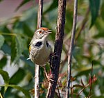 Common Tailorbird (Orthotomus sutorius) at Hodal I Picture 0128.jpg