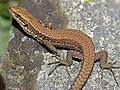 Common Wall Lizard (Podarcis muralis) (10251625025).jpg