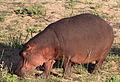 Common hippopotamus, Hippopotamus amphibius, at Letaba, Kruger National Park, South Africa (20225774691).jpg