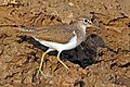 Common sandpiper (Actitis hypoleucos) India.jpg
