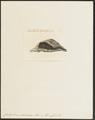 Condylura macroura - 1700-1880 - Print - Iconographia Zoologica - Special Collections University of Amsterdam - UBA01 IZ20900179.tif