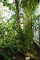 Conocarpus erectus-Jardin botanique Meise.jpg