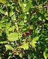 Conocarpus erectus 3.jpg