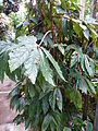 Conservatoire du bégonia 2015. Begonia 'Paul Hernandez' 01.JPG