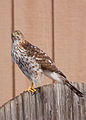 Coopers-Hawk-on-a-Fence.jpg