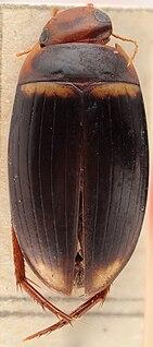 <i>Copelatus</i> Genus of diving beetles
