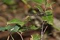 Copera marginipes female at Kadavoor.jpg