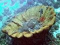 Coral Large Orange Coral Cup (7157620825).jpg