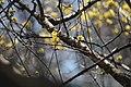 Cornelian cherry dogwood (47470974312).jpg