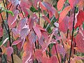 Cornus alba Kesselringii - Flickr - peganum (2).jpg