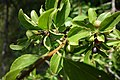Cornus mas, familija Cornaceae 08.jpg
