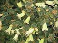 Correa reflexa nummulariifolia (16640530887).jpg