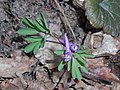 Corydalis intermedia 2018-04-09 7938.jpg