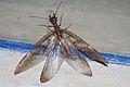 Corydalus sp-Hembra-Megaloptera-JMM-Acos-2010 Mar 09-DSC 4309.JPG