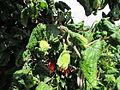 Corylus avellana Contorta 02.JPG