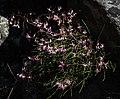 Corymbium laxum Rebelo 1.jpg