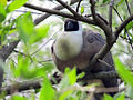 Corythaixoides personatus -Kansas City Zoo, Missouri, USA-8a (2).jpg