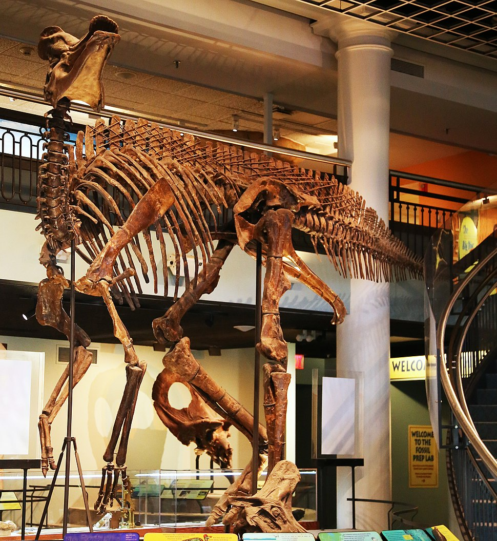 Corythosaurus casuarius