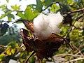 Cotton A.jpg