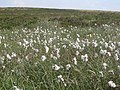 Cotton Grass - geograph.org.uk - 25189.jpg