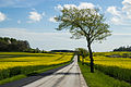 Country road and yellow field.jpg