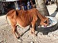 Cow-1-north bay island-andaman-India.jpg