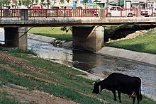 Cow grazing near Lana River, Tirana, Albania.jpg