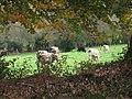 Cows grazing - geograph.org.uk - 1580796.jpg