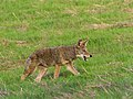 Coyote Hunting Rodents in Santa Teresa County Park (30035272154).jpg
