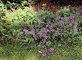 Cranesbill hardy perenniel Geranium at Gibberd Garden Essex England.JPG