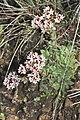 Crassula setulosa (Crassulaceae) (6932183349).jpg