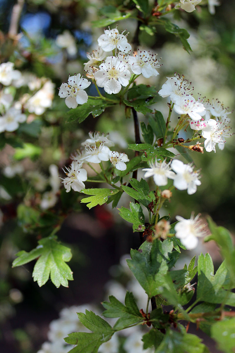 Crataegus in Germany, bluehender Weissdorn, Vers. 3-3, Mai 2015.jpg