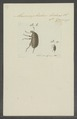 Cratoparis - Print - Iconographia Zoologica - Special Collections University of Amsterdam - UBAINV0274 031 03 0031.tif