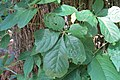 Creeper and Poison Ivy 5158.jpg