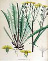 Crepis agrestis — Flora Batava — Volume v15.jpg