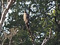 Crested Serpent Eagle - Spilornis cheela - DSC04832.jpg