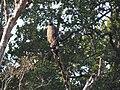 Crested Serpent Eagle - Spilornis cheela - DSC04832.jpg