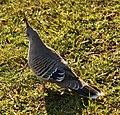 Crested pigeon, Centennial Park (02).jpg
