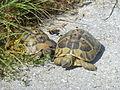 Crnovec - tortoise - P1100468.JPG