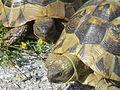 Crnovec - tortoise - P1100471.JPG