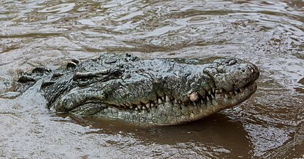 Crocodylus acutus head.jpg