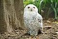 Cross-eyed owl.jpg