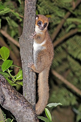 Furry-eared dwarf lemur - in Ranomafana National Park