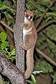 Crossley's dwarf lemur (Cheirogaleus crossleyi) Ranomafana.jpg