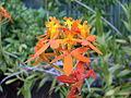 Crucifix Orchid (3149856914).jpg