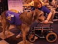 Crufts 2013- Day Two (Toy and Utility)- 08-March 2013 (8543555810) (2).jpg