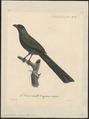 Crypsirhina varians - 1825-1834 - Print - Iconographia Zoologica - Special Collections University of Amsterdam - UBA01 IZ15700065.tif